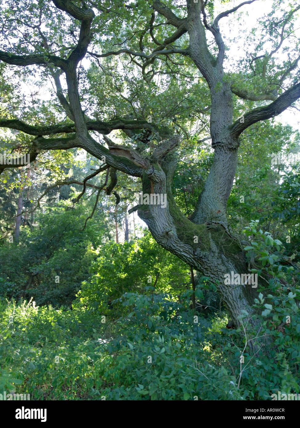 Oak (Quercus) - Stock Image
