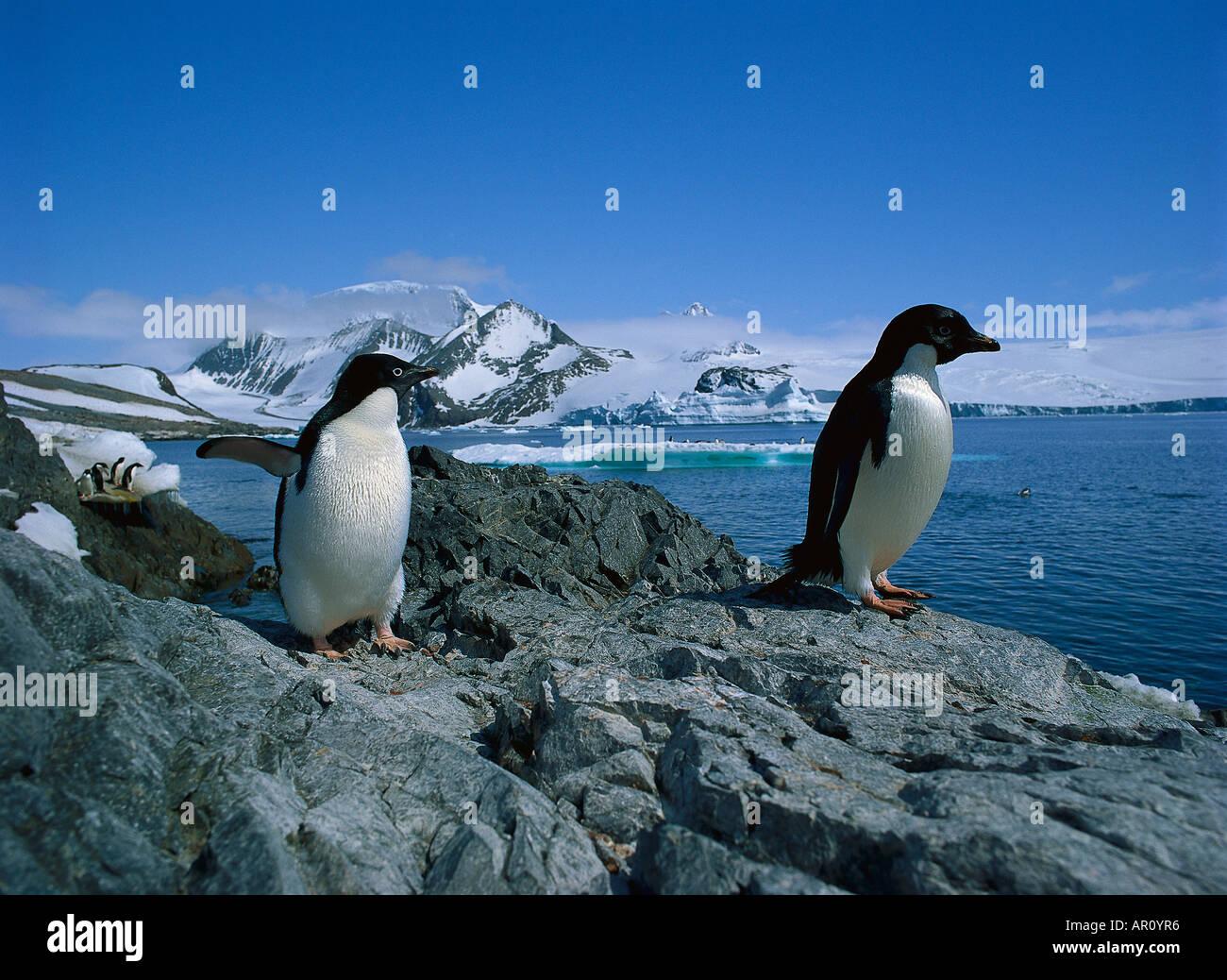 Adelie Penguins, Hope Bay Antartica Stock Photo