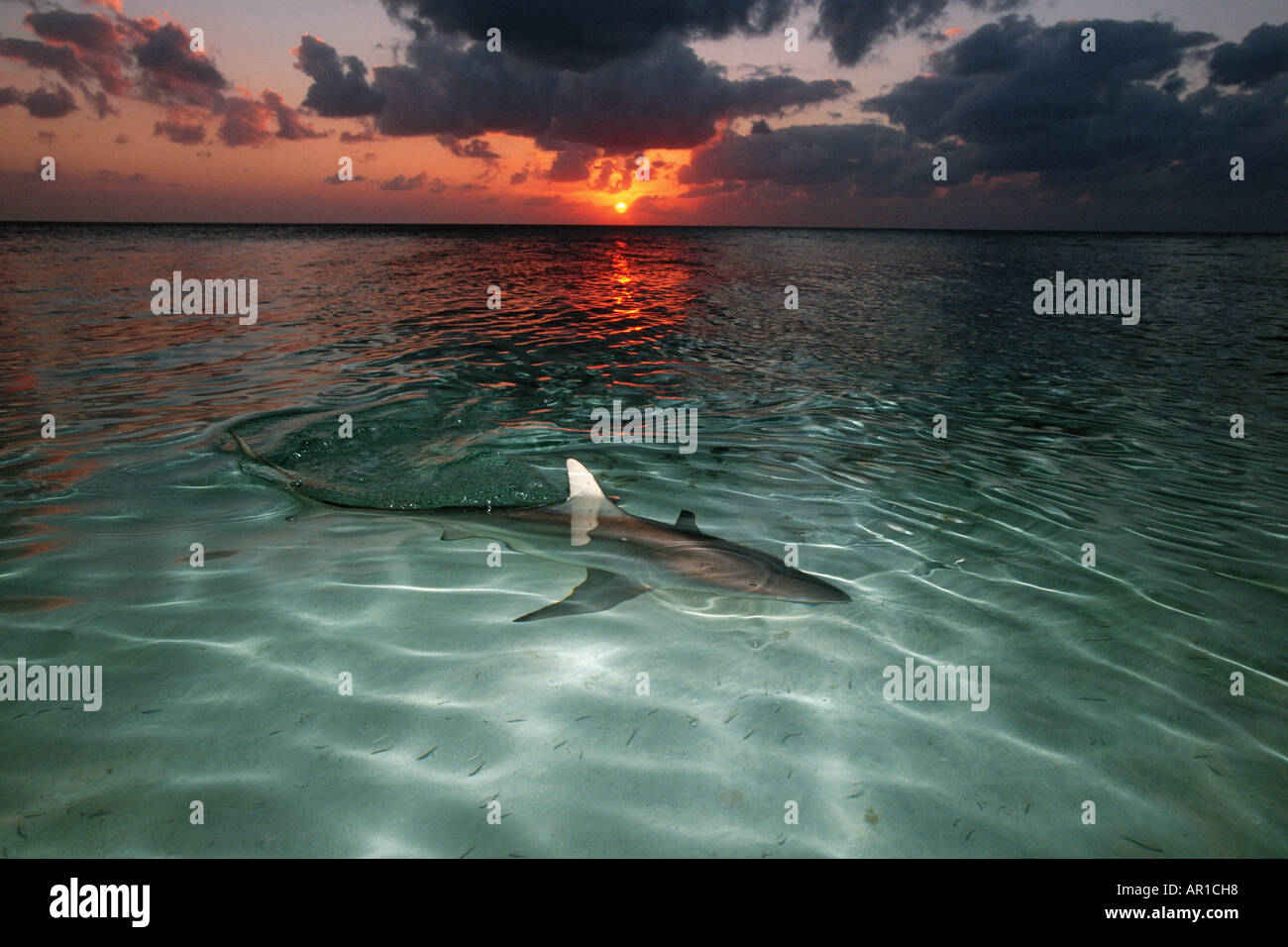Blacktip shark Carcharhinus limbatus can be found in shallow water where they prey on small fishes and squid Walker s Cay Bahamas Islands Atlantic Ocean Stock Photo