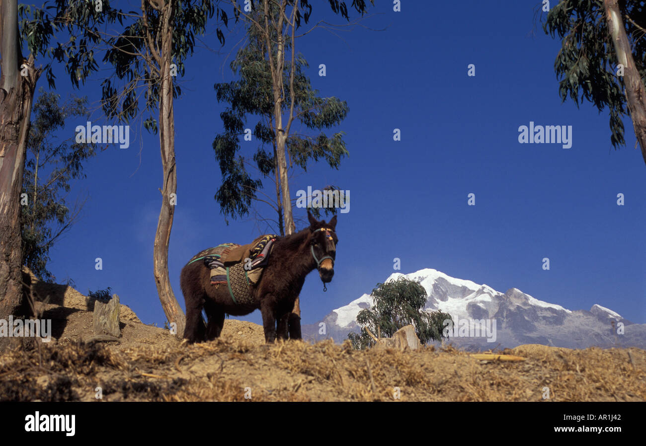 Horse surrounded by eucalyptus trees with the mount Illampu behind above the town of Sorata Bolivia - Stock Image