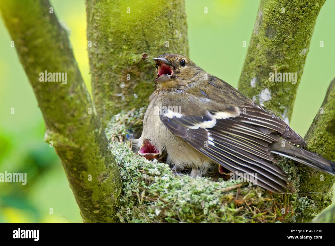 chaffinch with squabs in nest / Fringilla coelebs - Stock Image