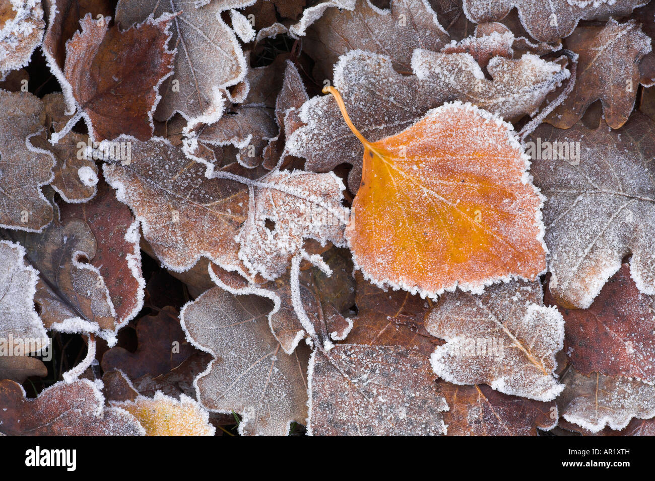 Fallen frosted leaves on the heathland, New Forest National Park - Stock Image