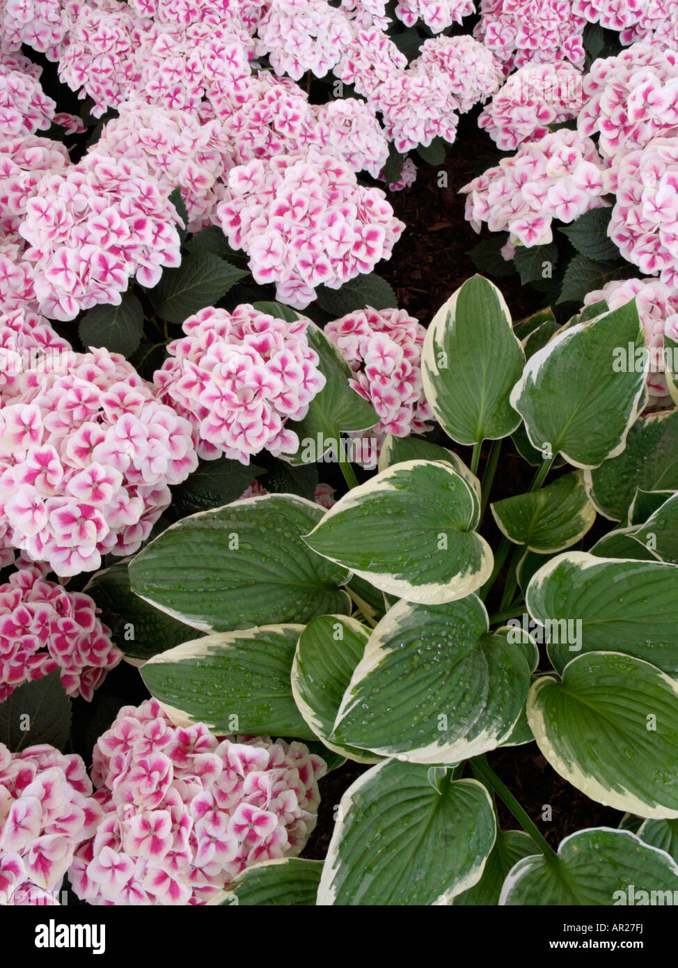 Plantain lily (Hosta) and big-leaved hydrangea (Hydrangea macrophylla 'Red Ace') Stock Photo