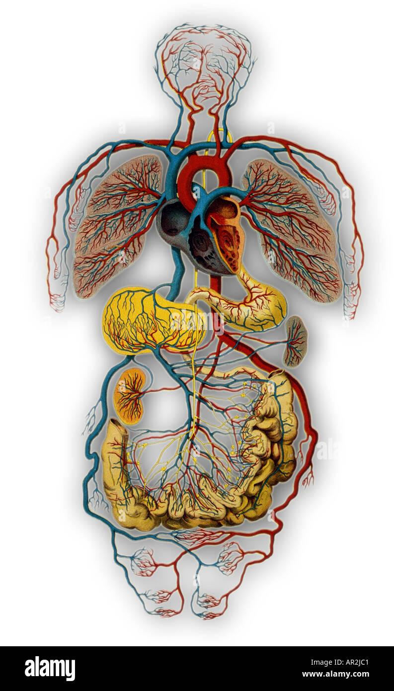 Human Circulatory System Stock Photos Human Circulatory System