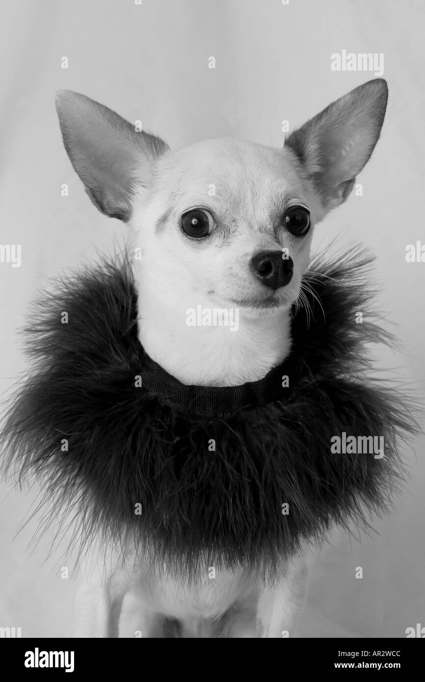 Chihuahua in black and white - Stock Image