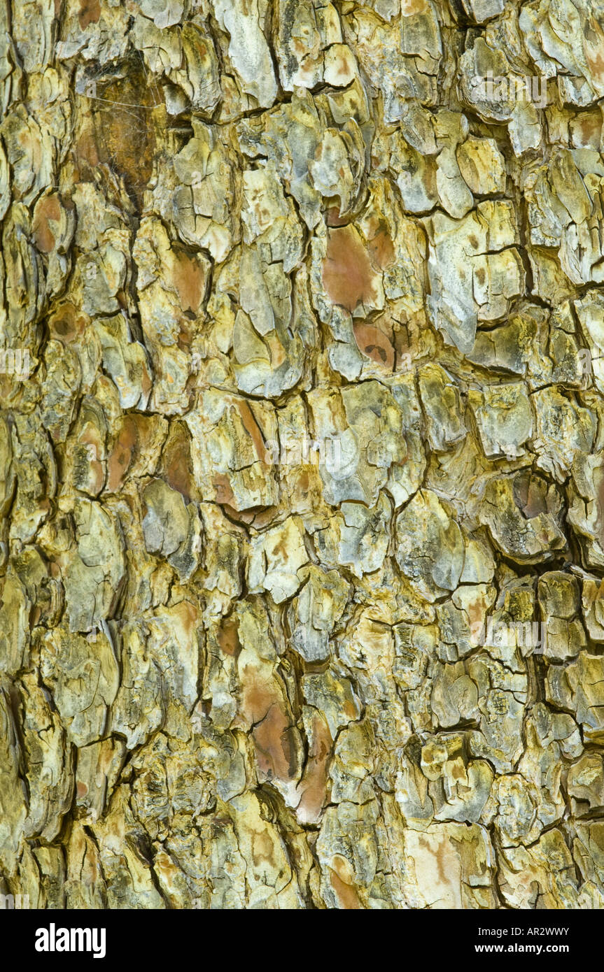 The Aleppo Pine (Pinus halepensis) close-up of the bark Kings Park Perth Western Australia September - Stock Image