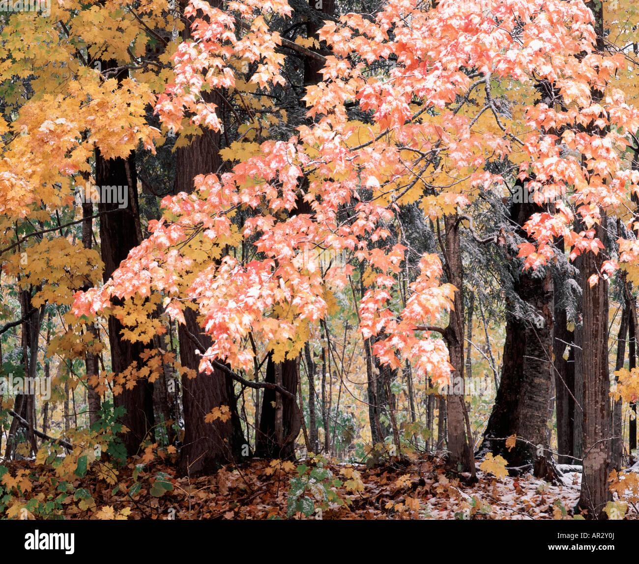 snow on autumn trees, Ottawa National Forest, Upper Peninsula, Michigan USA - Stock Image