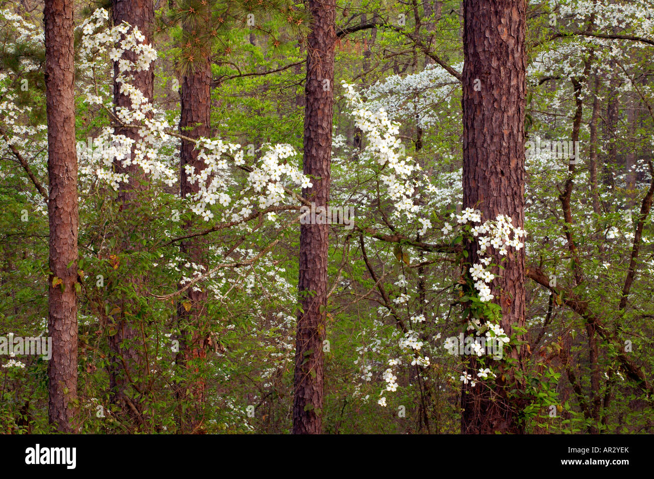 flowering dogwood blossoms in southern forest, Holly Springs National Forest, Mississippi USA - Stock Image