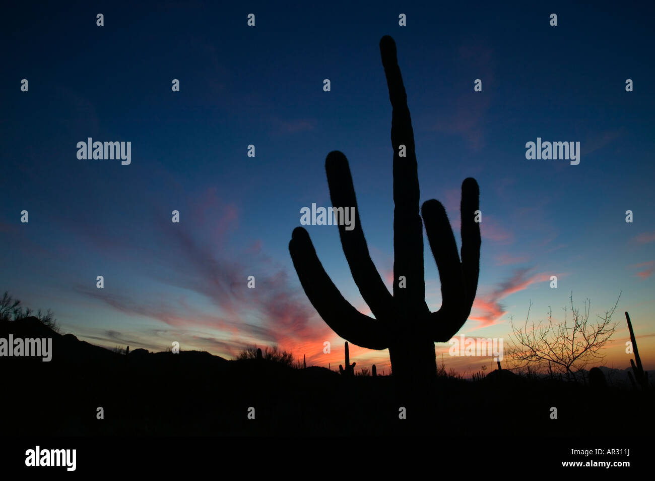 Saguaro cactus in Sonoran Desert near Tucson, West Unit, Saguaro National Park, Arizona USA - Stock Image