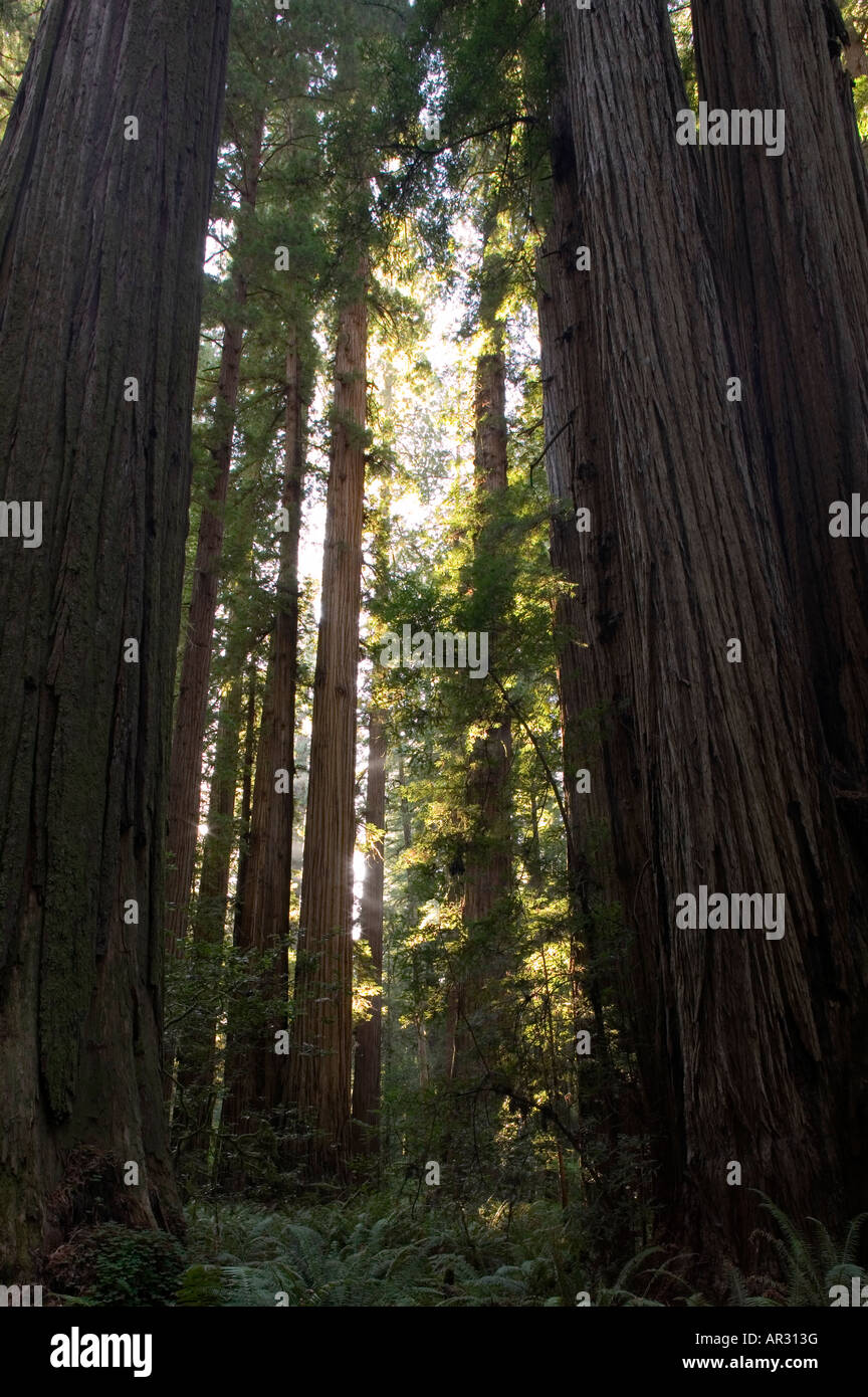 redwood trees in Stout Grove, Jedediah Smith Redwoods State Park, California, United States Stock Photo
