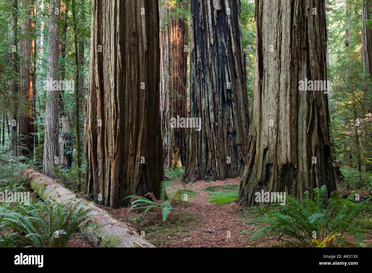 redwood trees in Stout Grove, Jedediah Smith Redwoods State Park, California, United States - Stock Image