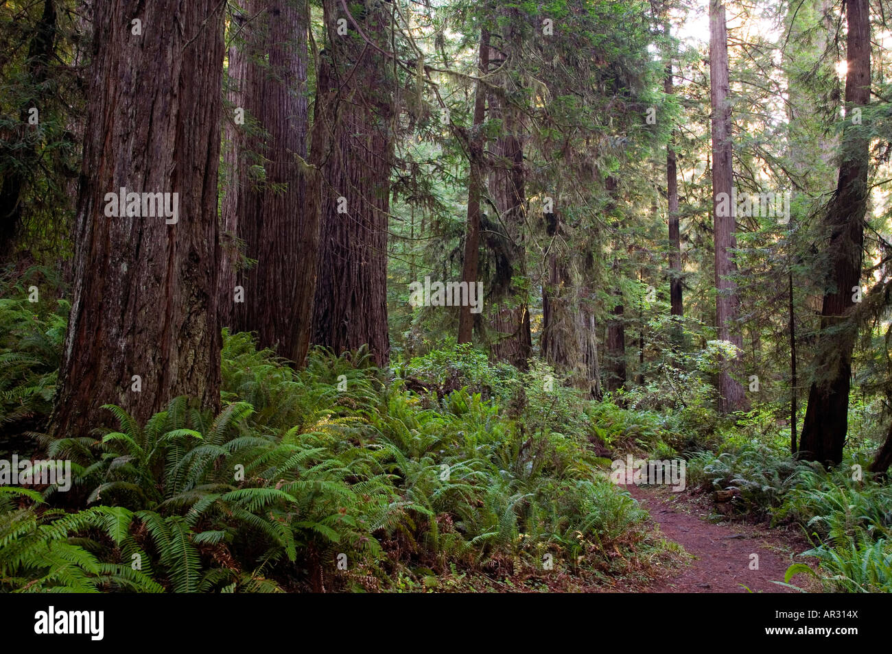 Redwood trees and trail, Prairie CreekRedwoods State Park, California, United States - Stock Image
