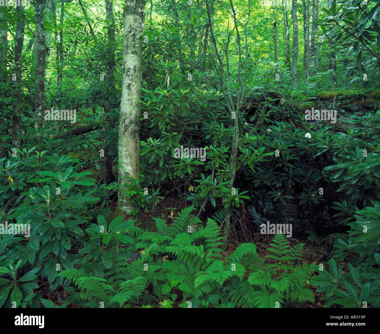 yellow birch forest, Chattahoochee National Forest, Georgia USA - Stock Image