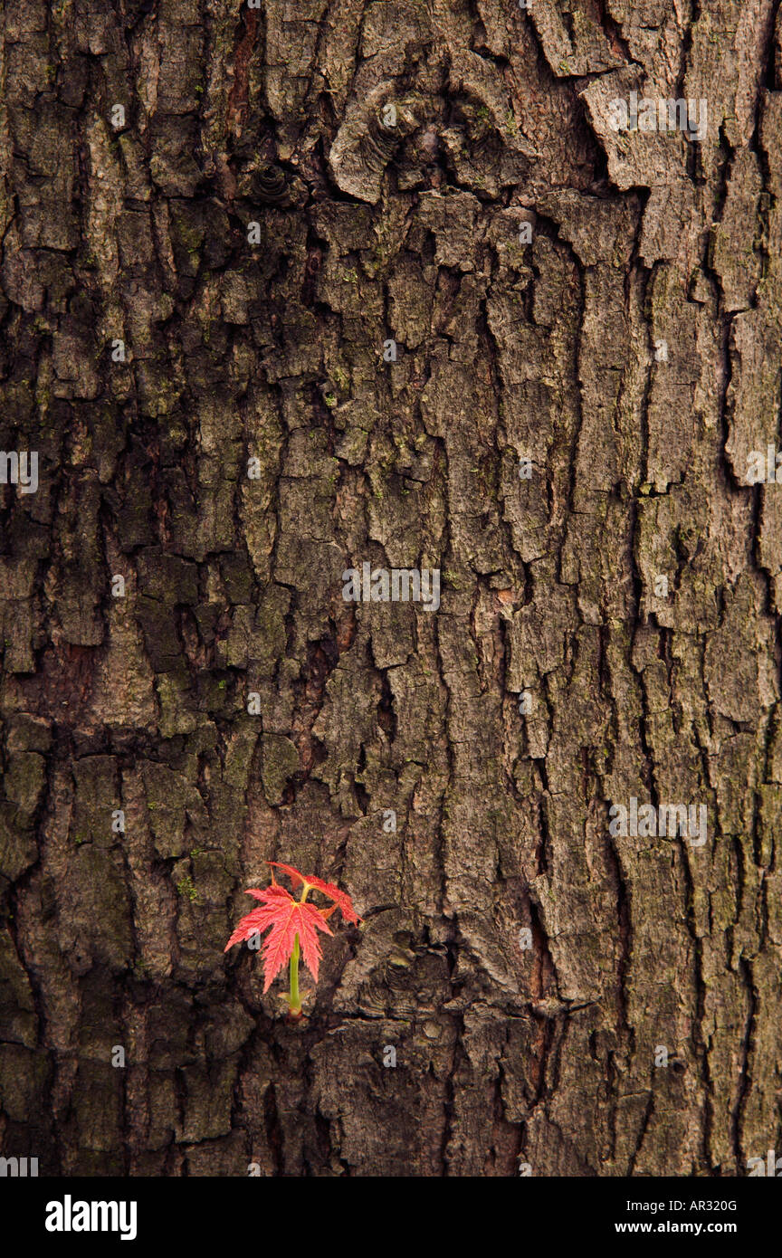 silver maple leaf and trunk (Acer saccharinum), Saulsbury Bridge Recreation Area, Iowa USA - Stock Image
