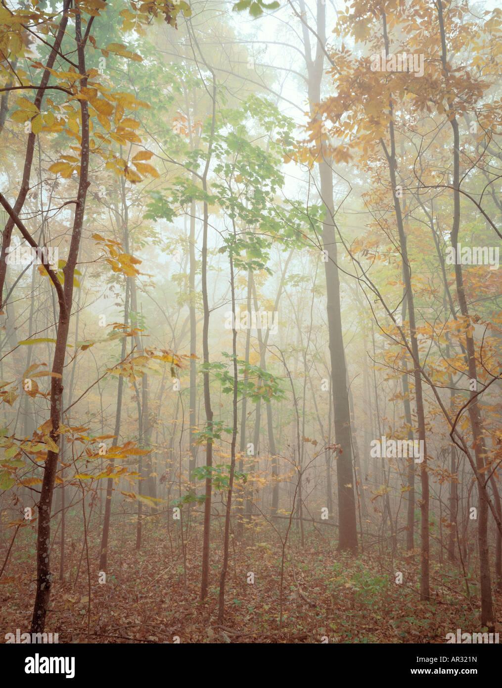 autumn trees in fog, Pikes Peak State Park, Iowa USA - Stock Image