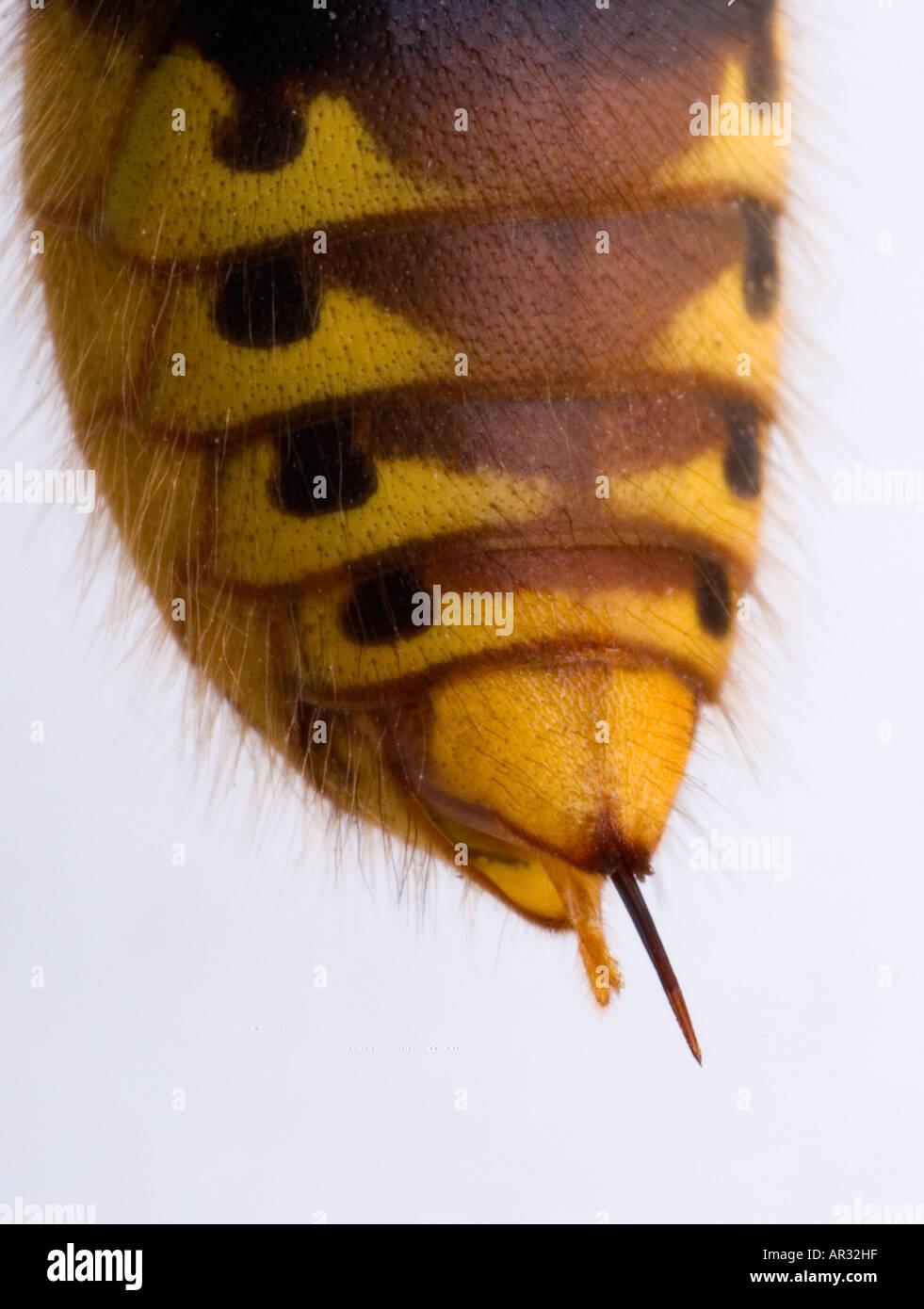 Hornet Vespa crabro Sting - Stock Image