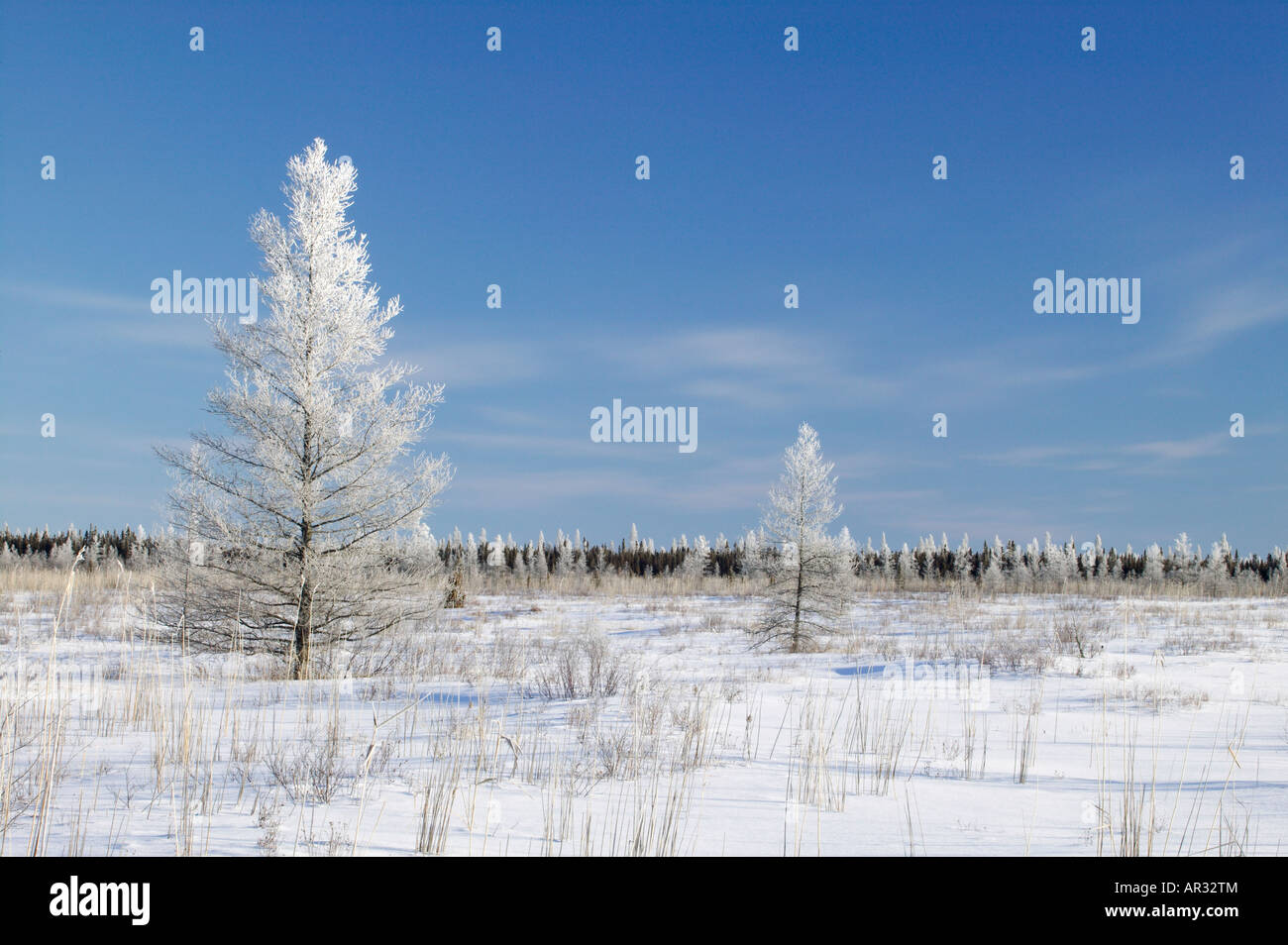 hoarfrost on tamarack trees in the Upper Red Lake Peatlands, Red Lake Wildlife Management Area, Minnesota USA - Stock Image