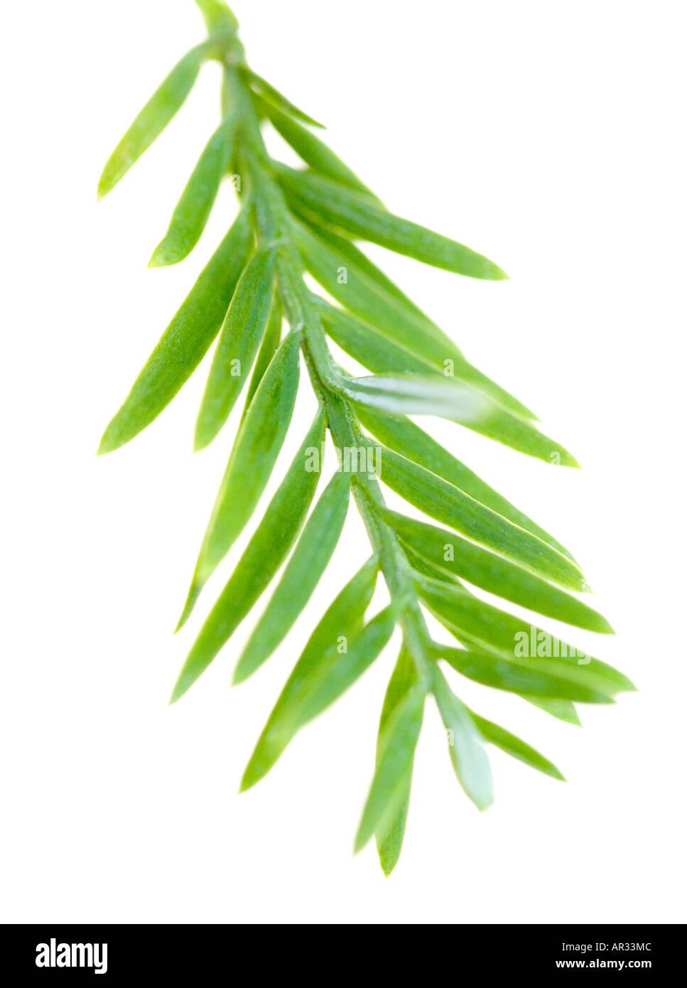 Yew tree foliage on white background - Stock Image