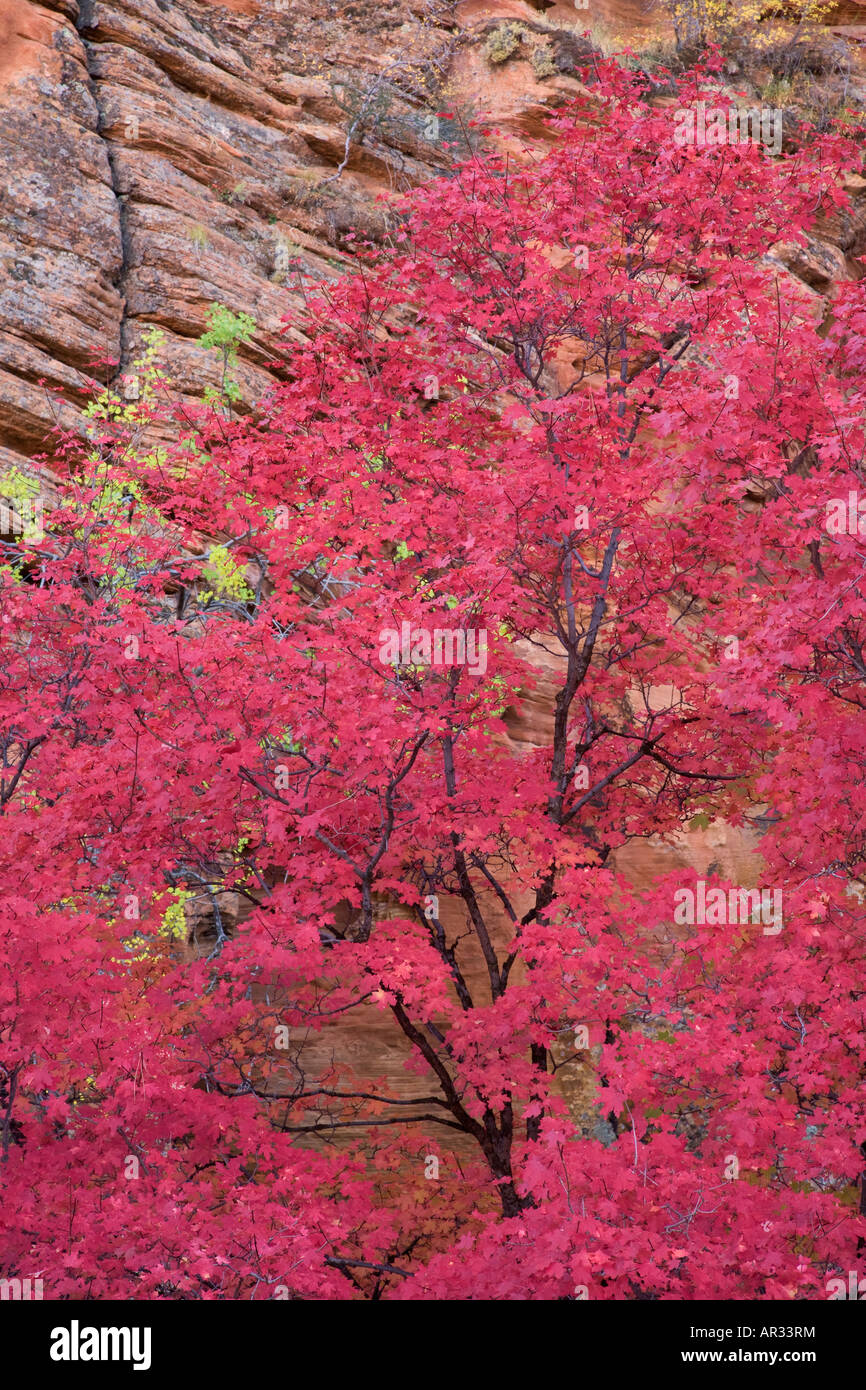 Autumn colors in Zion National Park Utah - Stock Image