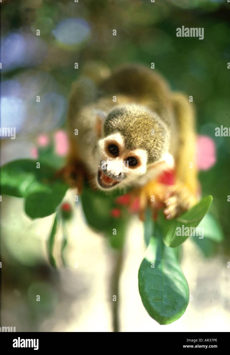 Squirrel monkey in Amazonia, Amazonia, Brazil South America - Stock Image