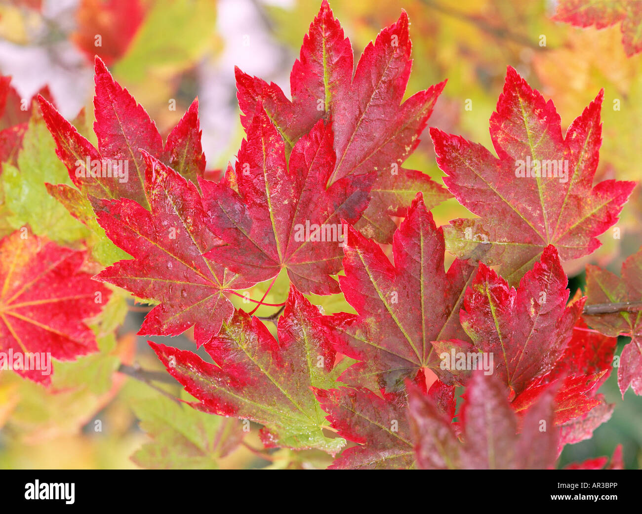 Vine maple leaves - Stock Image