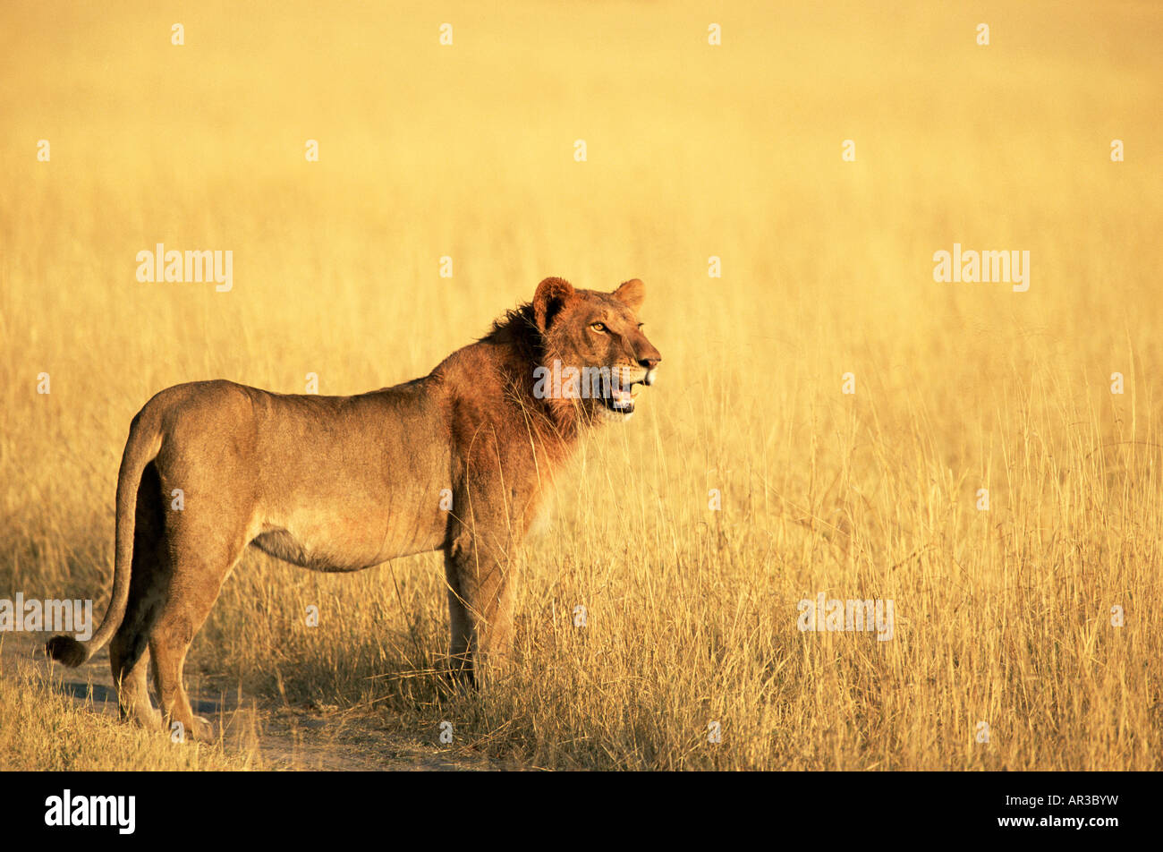 African lion - Stock Image