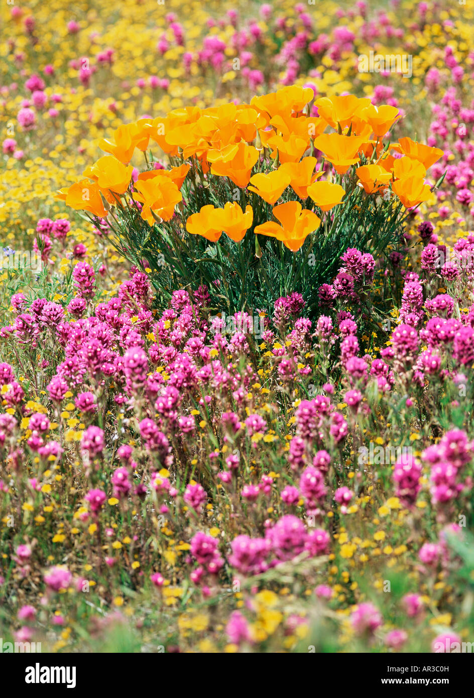 California poppy in the antelope valley - Stock Image