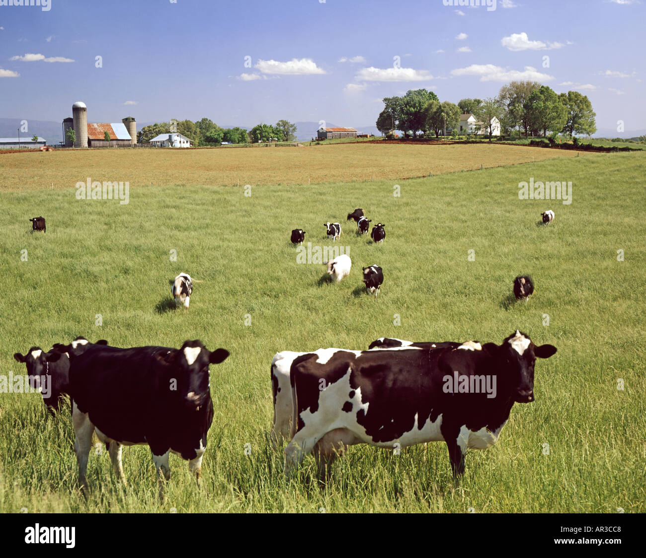 Wisconsin Pasture >> Cows Graze In Pasture On Wisconsin Usa Dairy Farm Stock Photo