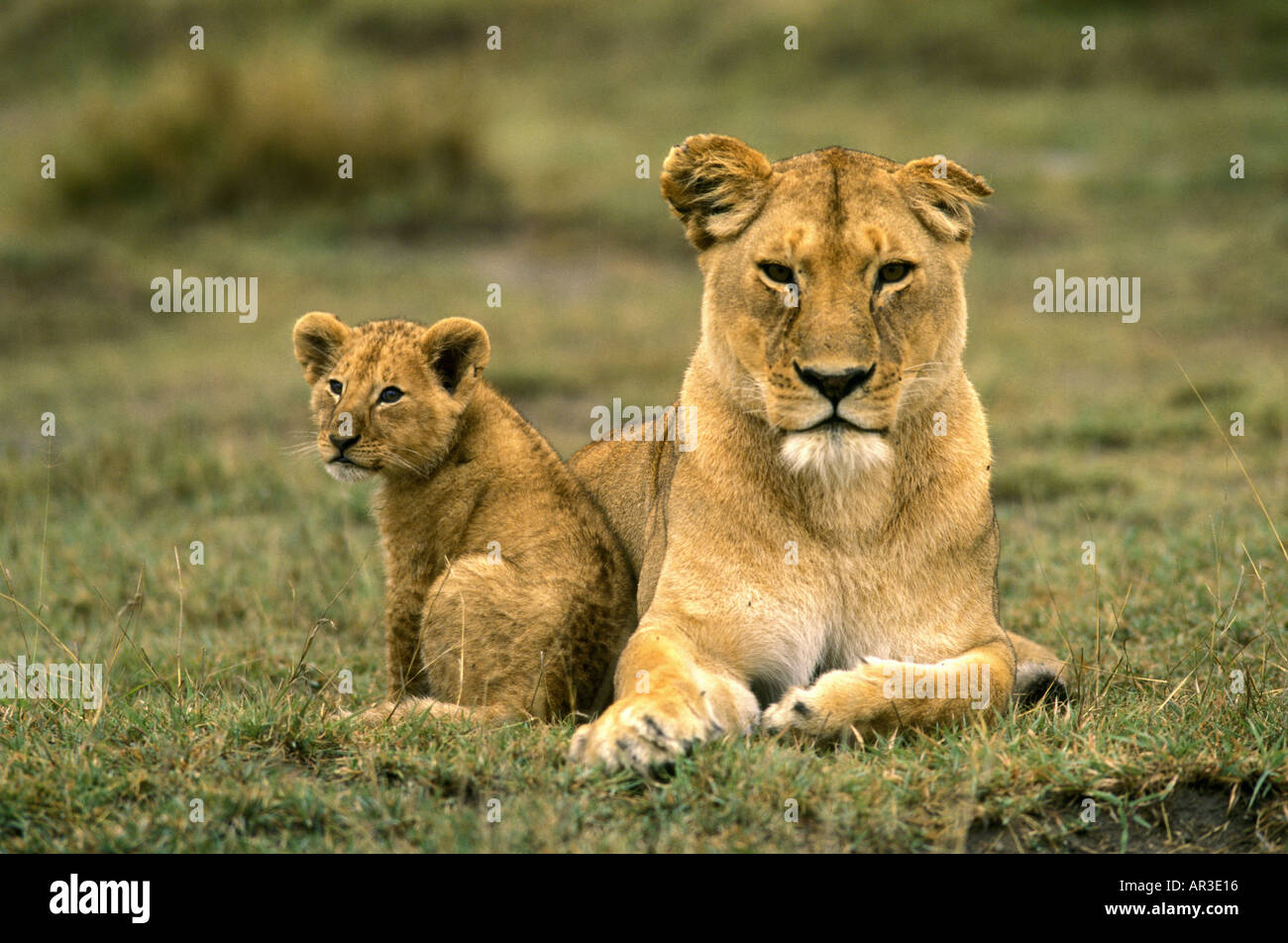 Mine the mature lioness age something