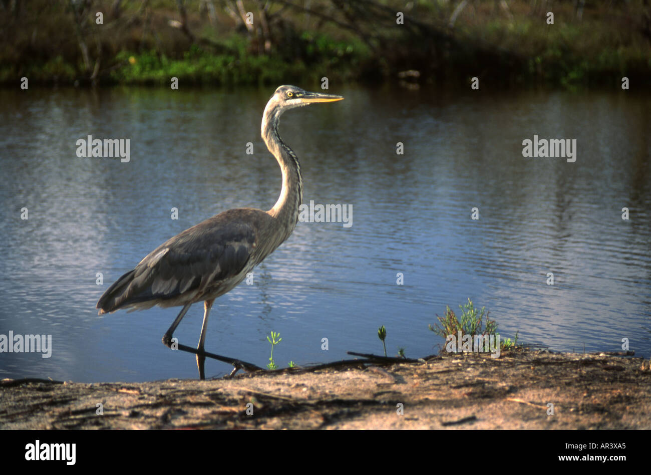Great Blue Heron Stalking - Stock Image