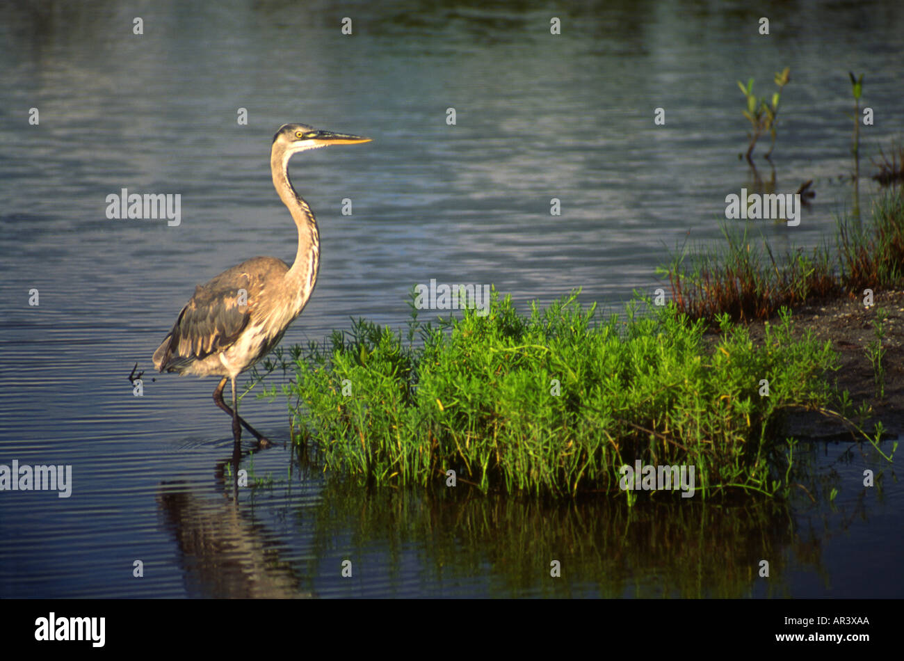 Great Blue Heron among Mangrove Shoots - Stock Image