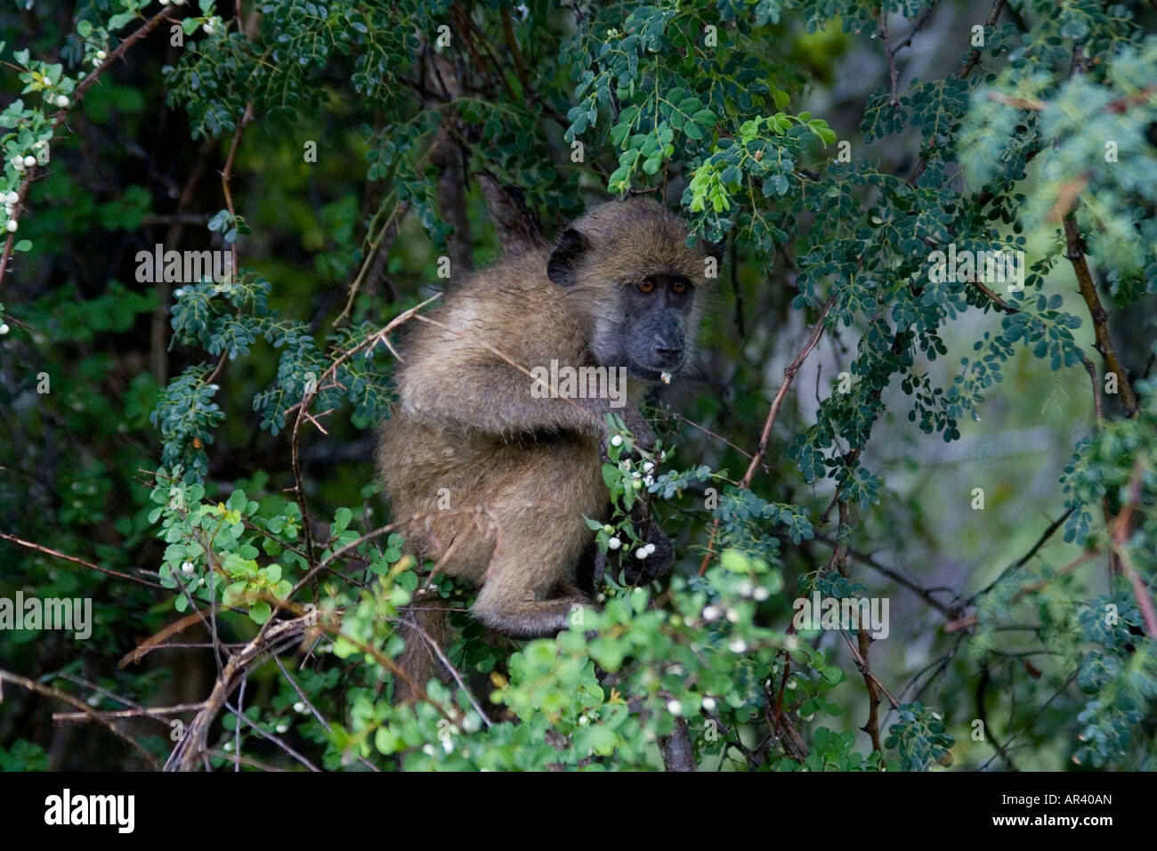 Young baboon eats berries in Kruger National Park, South Africa. Although omnivorous their diet is mostly vegetarian - Stock Image