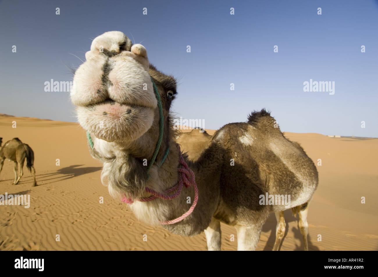 Dromedary, Erg Chebbi, Morocco - Stock Image