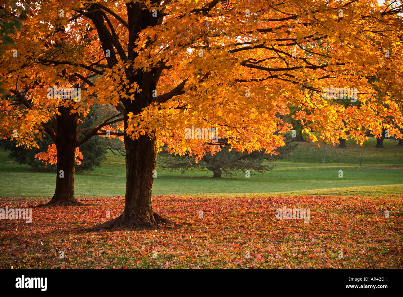 Maple tress in Loose Park - Stock Image