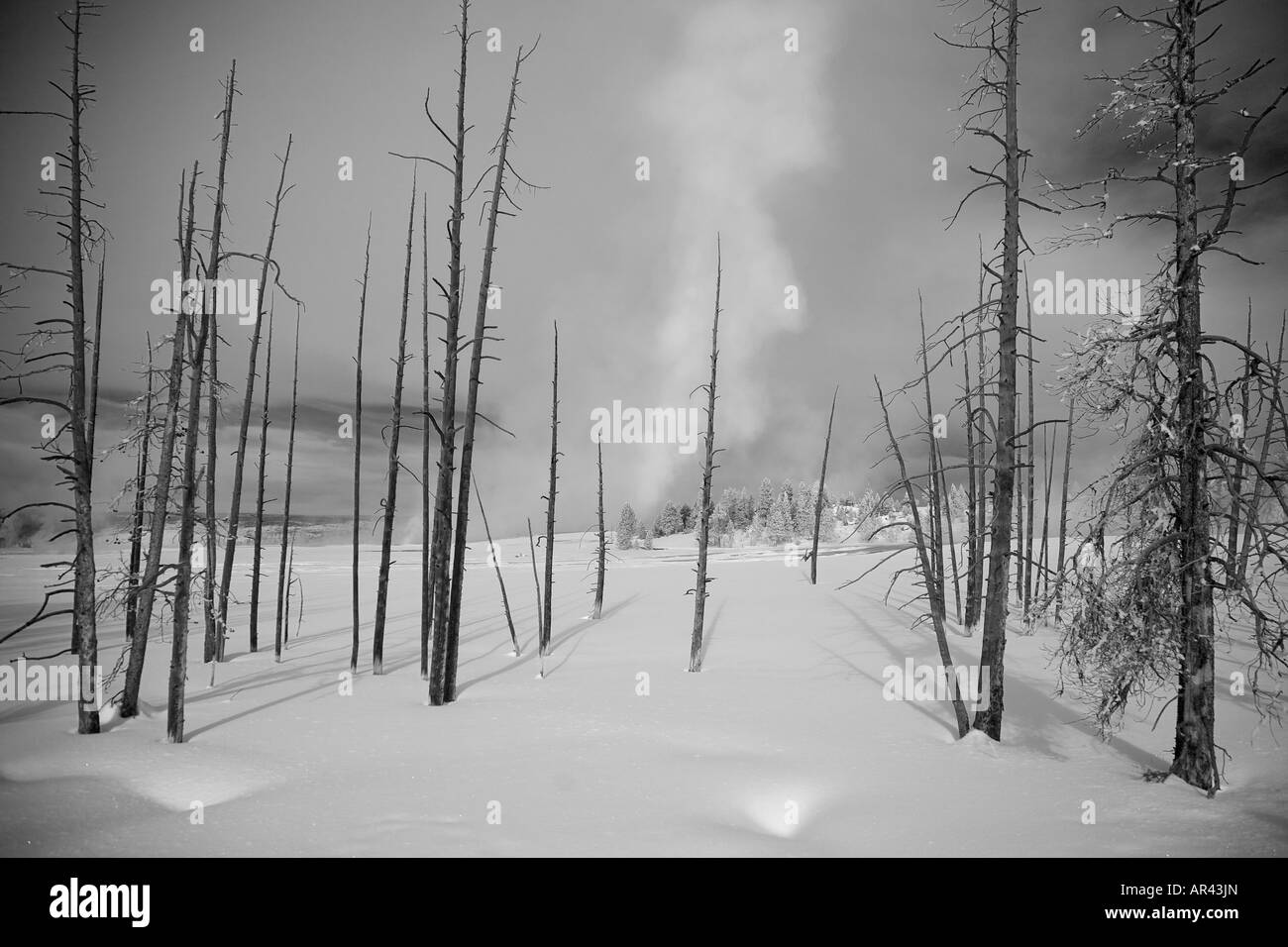 Yellowstone National Park in winter snow with hoar frost covered dead trees at Midway Geyser Basin - Stock Image