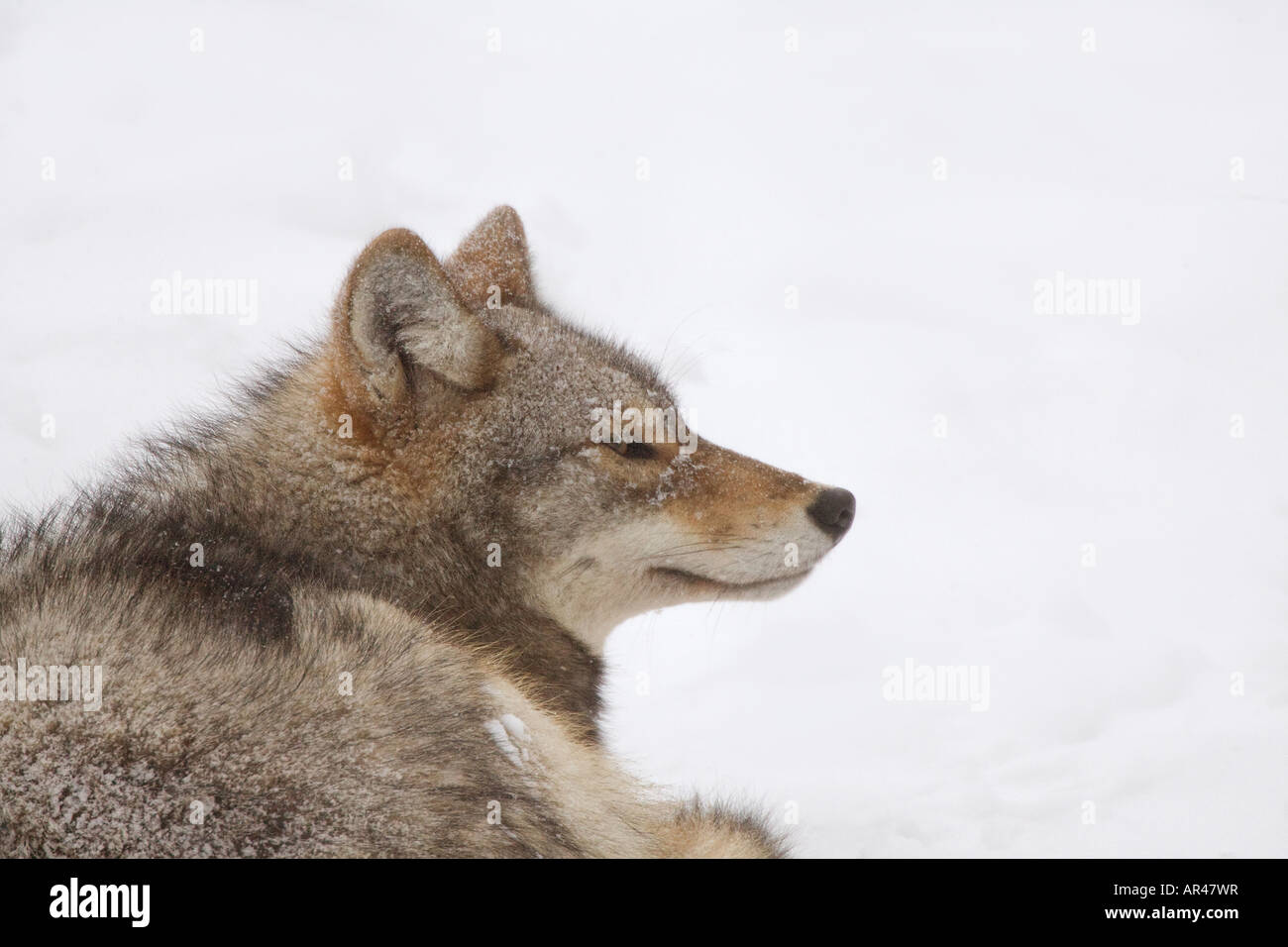 Portrait of Coyote lying in snow, facing right - Stock Image