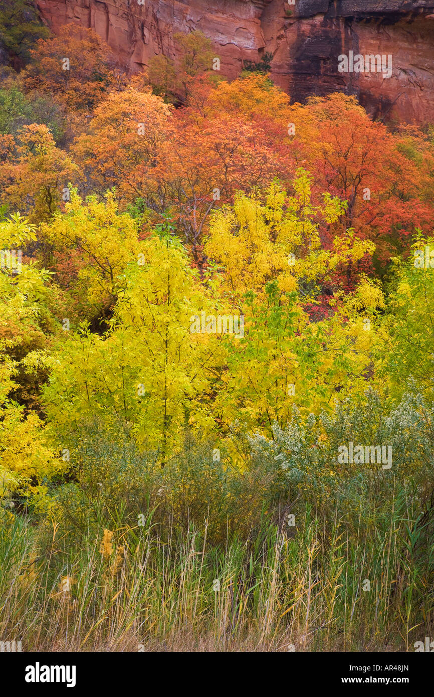 Autumn trees in Zion Canyon Zion National Park Utah - Stock Image