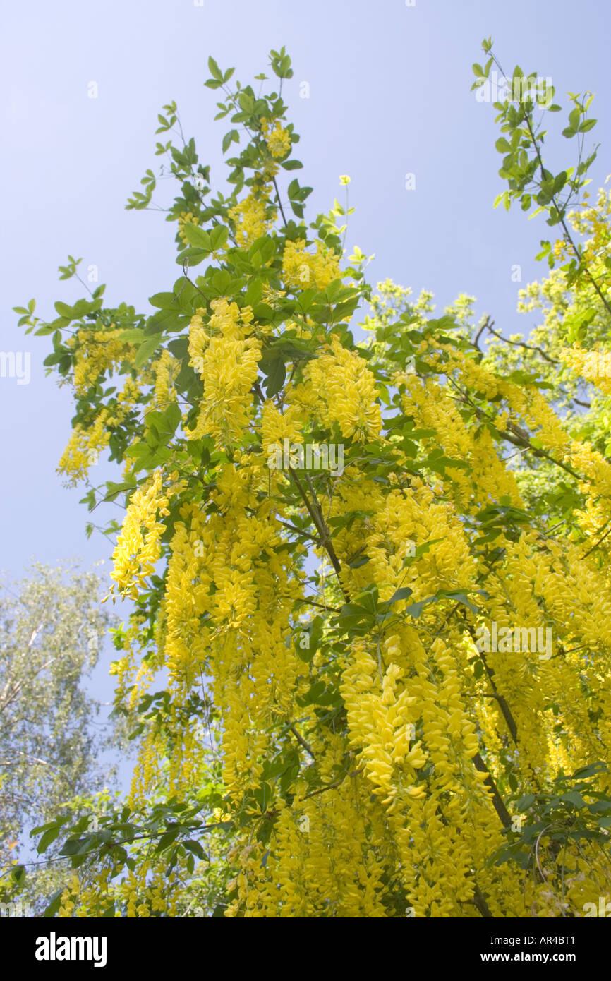 Laburnam laburnum flowers stock photos laburnam laburnum flowers laburnum tree english garden yellow flowers blue sky dorset uk stock mightylinksfo