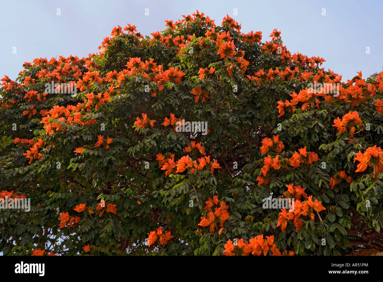 African Tulip Tree Stock Photos African Tulip Tree Stock Images