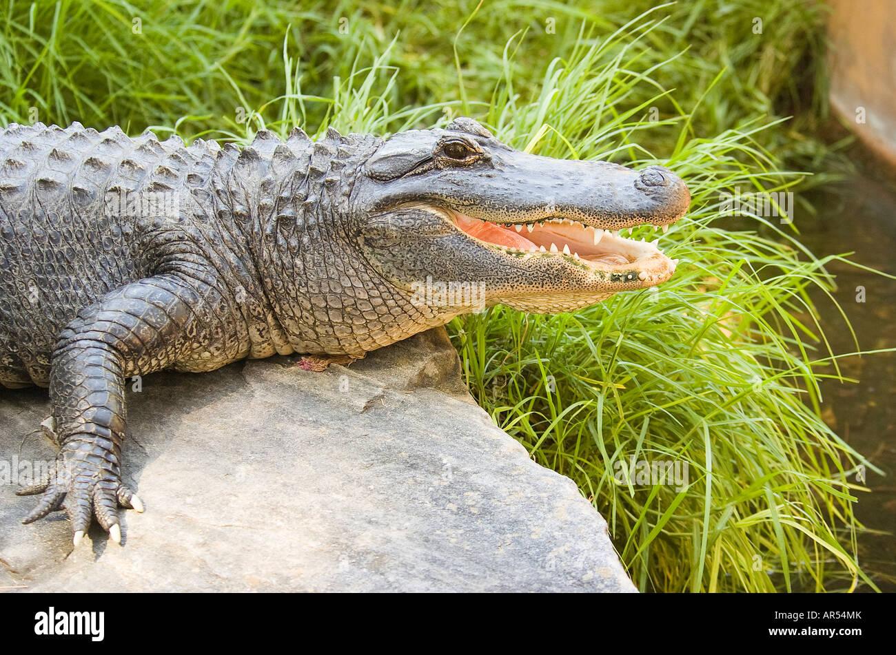 American Alligator Alligator mississippiensis - Stock Image