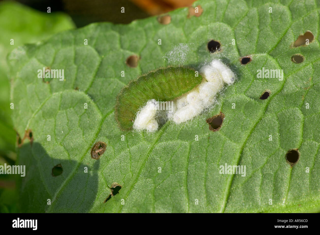 Small Copper Lycaena phlaeus larva Cotesia cupreus Lyle Braconidae Microgastrinae which is a specialist parasitoid of coppers - Stock Image
