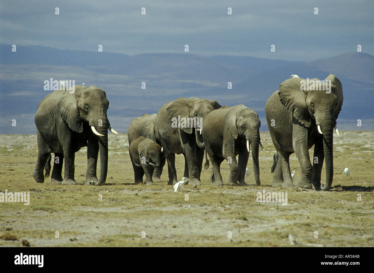 A group of female elephants and calves accompanied by Cattle Egrets - Stock Image