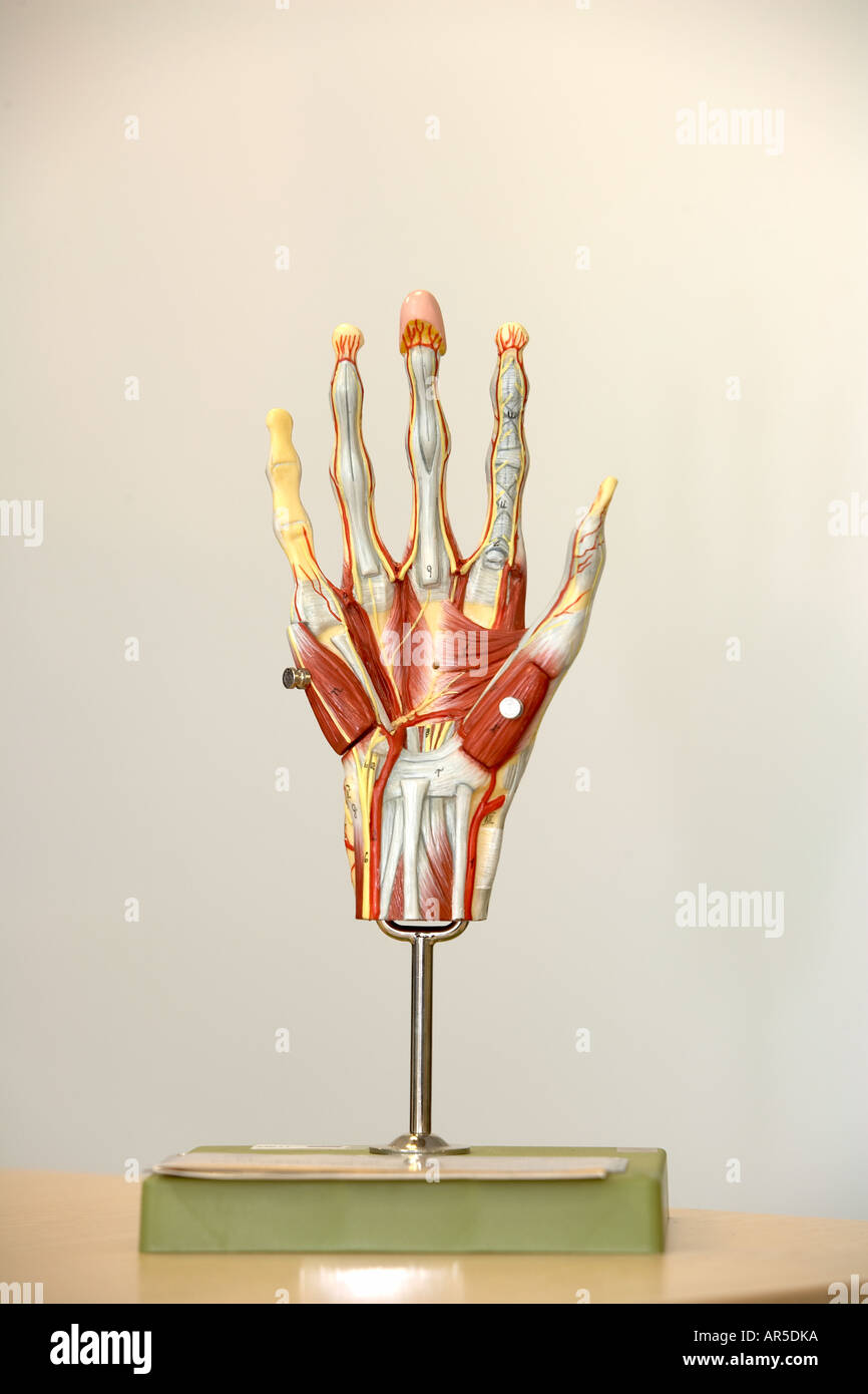 anatomical model of human hand Stock Photo: 9111289 - Alamy