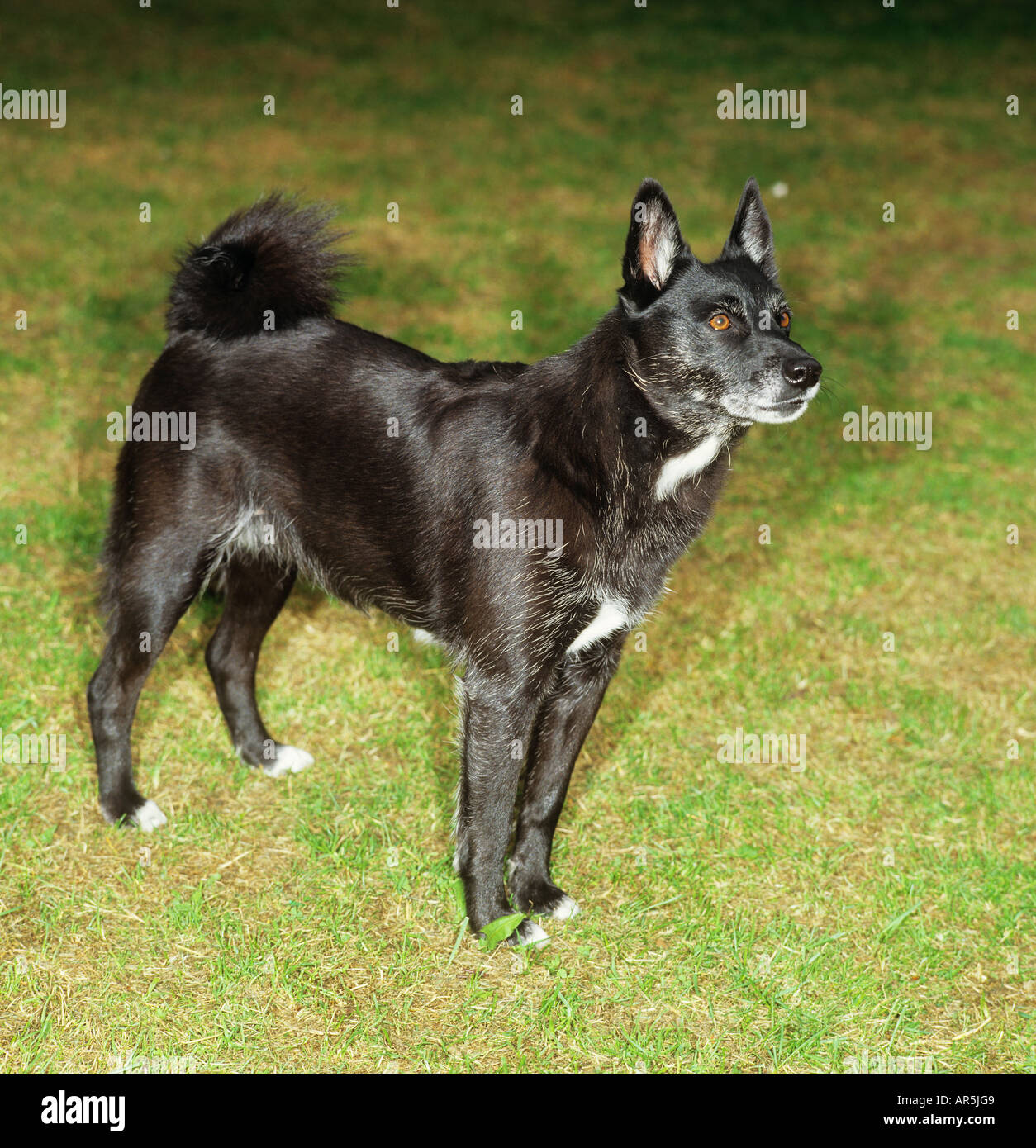 Norwegian Buhund Adult Dog Standing On Grass Stock Photo Alamy