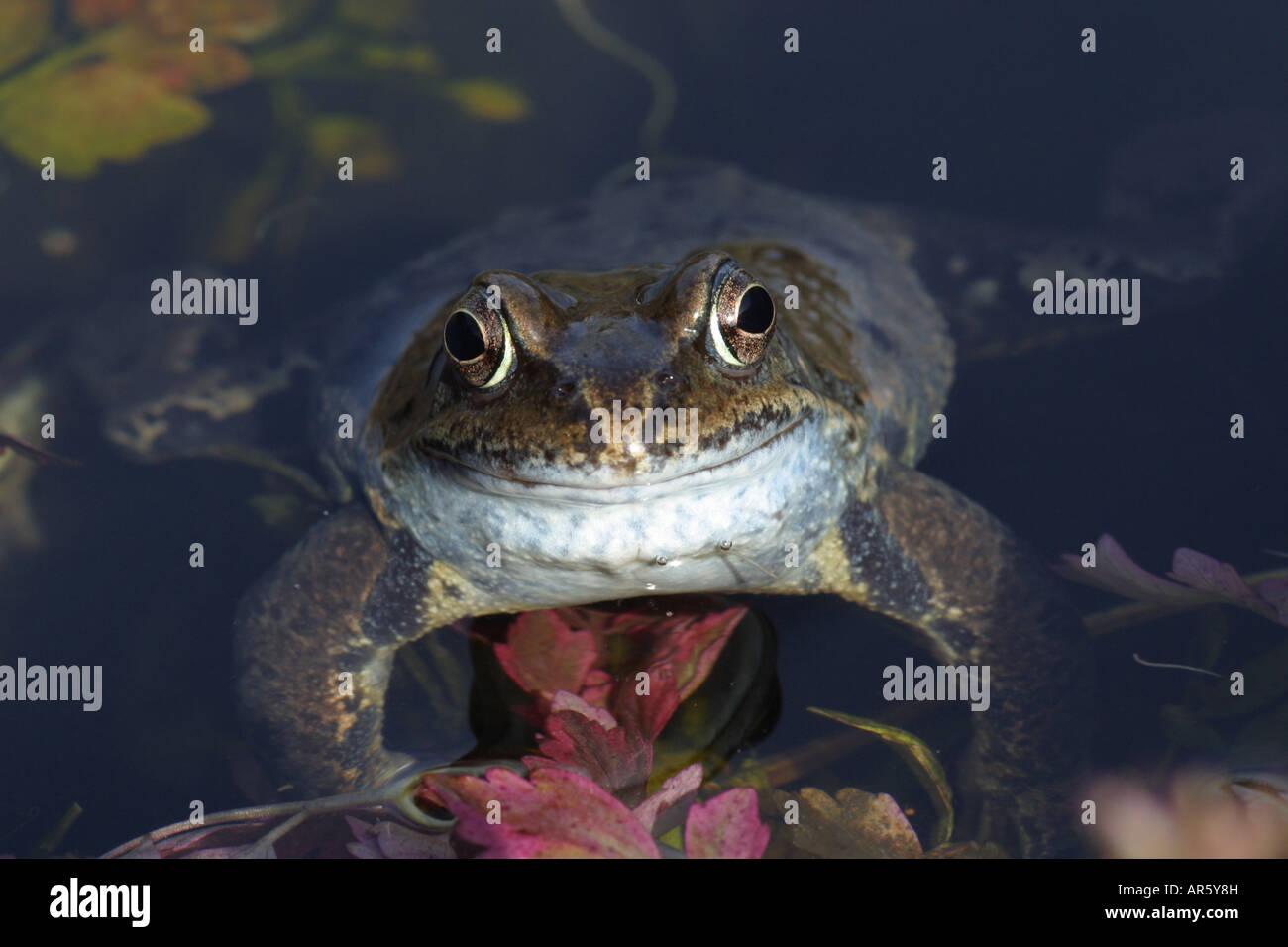 Common Frog Rana temporaria in a garden pond - Stock Image