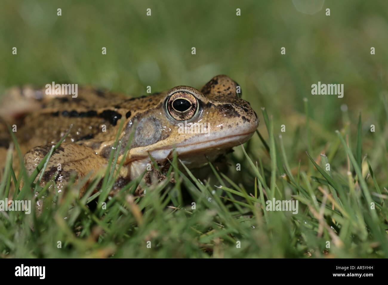 Common Frog Rana temporaria on a garden lawn - Stock Image