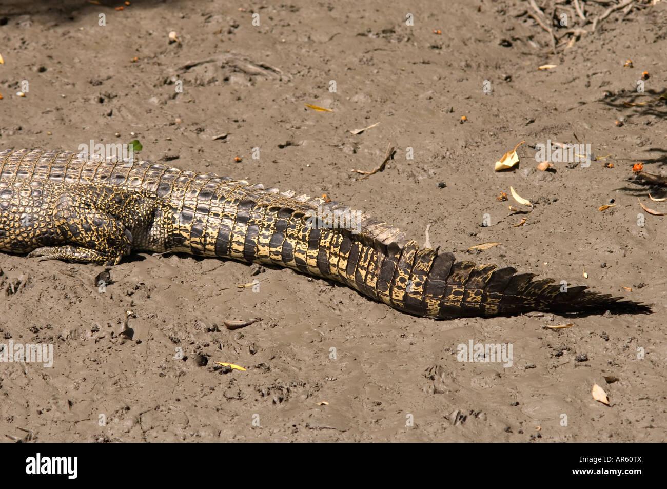Tail of an Australian saltwater or estuarine crocodile - Stock Image