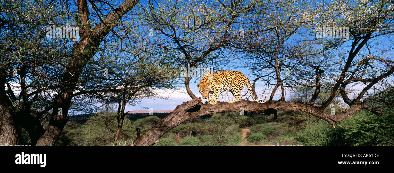 Leopard Panthera pardus up a tree South Africa - Stock Image