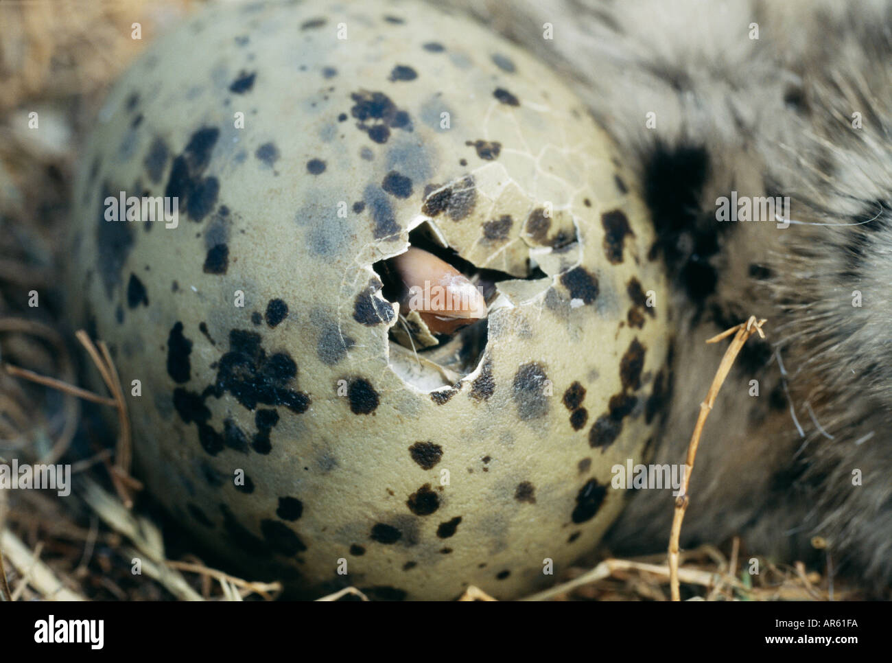 Herring Gull Larus argentatus chick hatching from egg Scotland summer - Stock Image