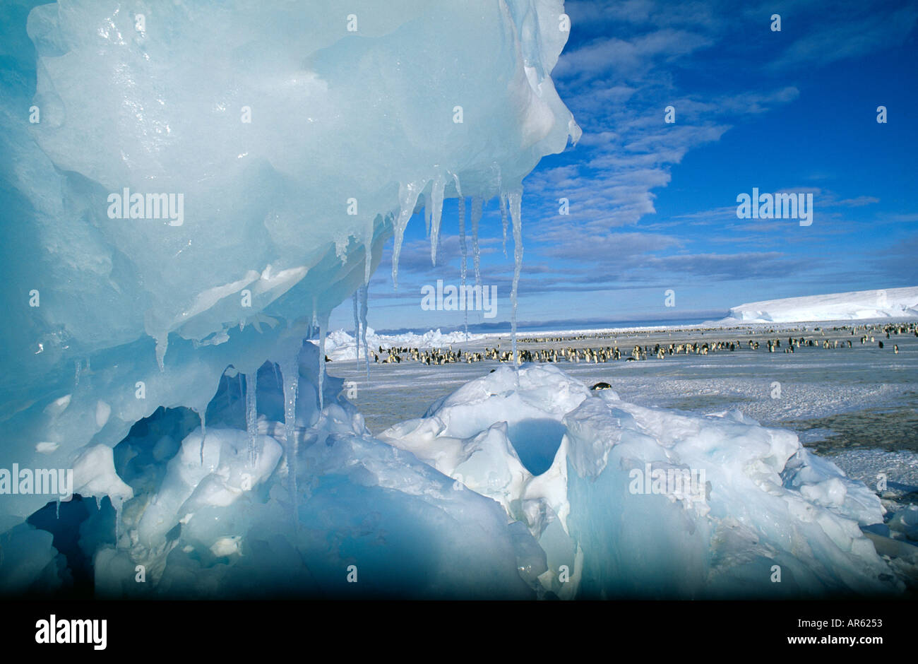 Emperor Penguin colony Aptenodytes forsteri chicks in creche at colony on Dawson Lambton Glacier Weddell Sea Antarctica November - Stock Image